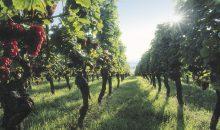 vineyard Alsace